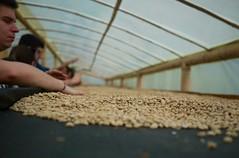 P1210248 (claireger) Tags: colombia cafe finca salento