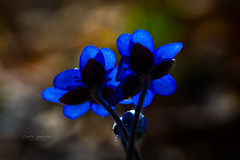 2 1/2 (CecilieSonstebyPhotography) Tags: anemonehepatica canon canon5dmarkiii ef100mmf28lmacroisusm markiii oslo backlight blue blåveis bokeh closeup duo flower flowers forest green macro moss petal petals stem stems ngc npc