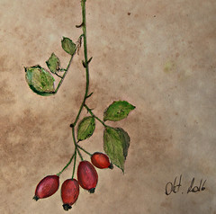Rosehip (patrick.verstappen) Tags: rosehip painting painted facebook fabriano plant art nikon gingelom google garden flickr februar november ipernity ipiccy photo picassa pinterest pat paper picmonkey pencil