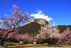Frühling auf Mallorca (Uli He - Fotofee) Tags: mallorca frühling mandelblüte blüten blühen mandeln berg spring ulrike ulrikehe uli ulihe ulrikehergert hergert nikon nikond90 fotofee himmel blau grün rosa