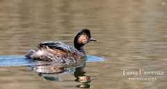 Grebe à cou noir (Tony Fiorenza Photography) Tags: birds water photgraphy blacknecked animals nature