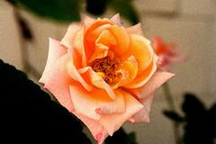 Flor | Flower | Fleur | Fiore | цветок | Blume (António José Rocha) Tags: portugal flor flora natureza beleza serenidade pétalas cor vida