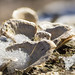 """Snowy Seashell Mushrooms • <a style=""""font-size:0.8em;"""" href=""""http://www.flickr.com/photos/124671209@N02/33062858673/"""" target=""""_blank"""">View on Flickr</a>"""