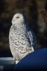 Snowy Owl - Profile - Chippewa County - Upper Peninsula - Michigan (Mikel Classen) Tags: snowyowl wildlife bird raptor owl chippewacountysaultstemarie upperpeninsula michigan