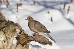 tourterelle triste / mourning dove (ricketdi) Tags: bird tourterelletriste mourningdove zenaidamacroura ngc coth5 npc