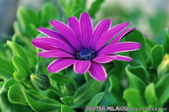 simple love... (dimitra_milaiou) Tags: color flower colour nature greek greece hellas spring beauty beautiful bokeh nikon photography green purple pink d90 d 90 world island andros cyclades blue daisy wild live life love milaiou dimitra light day daylight ngc