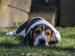 IMG_8274 (BFDfoster_dad) Tags: basset hound puppy