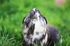 Titi (Mariie76) Tags: animaux cochon dinde cobaye rongeur museau en pointe herbe nature drôle fun funny moustaches dents beige blanc noir