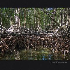 Mangrove Paddle Boat Tour (Eiji Murakami) Tags: philippines palawan sabang olympus tg4 mangrove フィリピン パラワン サバン