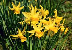 140312 jjH 170413 © Théthi ( 9 pics ) (thethi: better, back slowly) Tags: nature plante fleur jonquille printemps mars jaune parc hoegaarden vlaanderen belgique belgium inviterub faves33