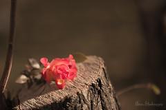 Flower (aminshahnazari) Tags: amin shahnazari nature canon 70200 6d flower isfahan iran امین شاه نظری