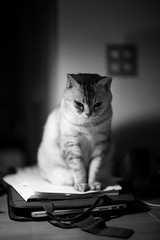 On the desk (h329) Tags: 50mm desk f095 noctilux cat bw leica m