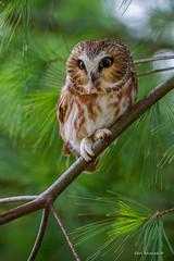 "One ""rapt"" raptor.. (Earl Reinink) Tags: bird animal earlreinink earl reinink niagara eye eyes owl raptor northernsawwhetowl uaoddtaaha aegoliusacadicus"