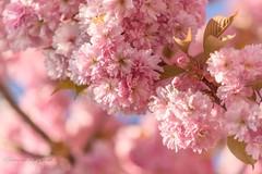 Blossom (Ellen van den Doel) Tags: spring natuur color flowers nature overflakkee nederland bloesem bloemen goeree 2017 kleur lente blooming netherlands voorjaar april sommelsdijk zuidholland nl