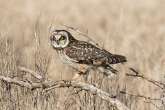 Short-eared Owl (Asio flammeus) (Tony Varela Photography) Tags: asioflammeus owl photographertonyvarela shortearedowl