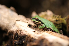 Pacific Treefrog (Zach Hawn) Tags: biology pacificnorthwest pnw washington nature outdoors naturalist wildlife frog nisquallynationalwildliferefuge nisqually nnwr amphibian wildliferefuge thurston