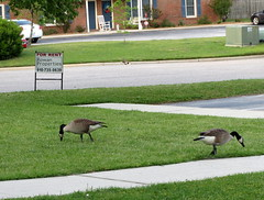 Pair Of Geese. (dccradio) Tags: lumberton nc northcarolina outside outdoors nature goose geese canadagoose canadageese animal bird feathers waterfowl sidewalk cement lawn grass greenery