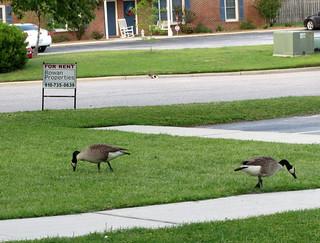 Pair Of Geese.