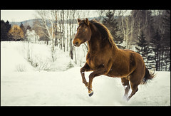 courcheval-0791 (douglasmitchell1) Tags: cheval horse hiver winter