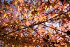 Back litted colourful leafs (Syahrel Azha Hashim) Tags: autumnseason autumn nature sony 2016 shallow holiday colourfulleafs simple kyoto details a7ii ilce7m2 dof lowangle getaway handheld colorimage vacation seasonal prime light season naturallight backlight colorful sonya7 beautiful travel syahrel 35mm fall colors leafs nopeople tree japan detail