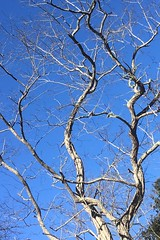 The Twists of a Locust Against a Cear Blue Winter Sky (brucetopher) Tags: tree treemendous branches blue sky beauty twisted twist twisting bare