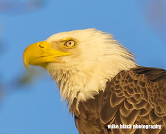 bald Eagle close up at sunset Canon 5DSR 800mm lens (Mike Black photography) Tags: bald eagle bird nature canon 5dsr 800mm lens birding big year nj new jersey shore mike black photo photography is usm l body white feathers raptor prey yellow sky trees