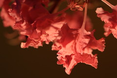 Crinkle cut (alideniese) Tags: crepemyrtle lagerstroemia flowers petals macro closeup detail backlit backlighting light colour
