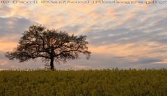 The Solitary Tree (STAFF.PAUL) Tags: tree single alone sunset rapeseed sky canon canon7d sigma1770 sigma yellow flower worcestershire thisphotorocks field hanbury