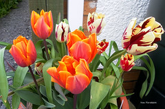 """TULIPAS """"PRINCESS IRENE"""" AND """"GRAND PERFECTION"""" (tommypatto : ~ IMAGINE.) Tags: tulips flowers flores flora"""