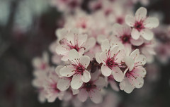 blossom (Johnson Cameraface) Tags: 2017 april spring olympus omde1 em1 micro43 meyeroptikgorlitzoreston 50mm m42 f18 manualfocus johnsoncameraface blossom flower tree