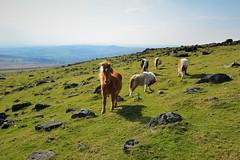 JRJ_6675 (jjay69) Tags: dartmoor holiday britain uk devon cornwall england airbnb easter lydford outdoors outdoor moors moorland barren rural countryside peaceful wild dartmoorpony ponies horse pony animal farm wilderness whitetor