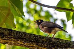 Common Myna (James Neeley) Tags: commonmyna hawaii wildlife jamesneeley
