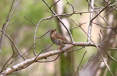 Song Thrush (Georgiegirl2015) Tags: birds bbcwalesnature bird canon countryside carmarthenshire ef300mm spring sunny wildlife woodlands wales avian rspb river thrush song songthrush