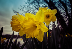 Signs of Spring (Glenn Cartmill) Tags: daffodil daffodils canon eos 650d spring march 2017 yellow flower yellowflower lurgan park lurganpark glenn cartmill northernireland uk unitedkingdom ireland nireland countyarmagh