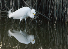 Snowy Egret (Chris Hardee Photography) Tags: egret snowy nature outdoor bird reflection florida wildlife