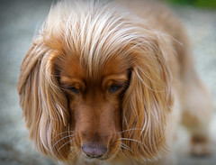 Blondie! (SteveJM2009) Tags: poppy blonde hair highlights whiskers spaniel portrait ball fetch sun light fur face nose ears paws mouth tongue sweetshouse cornwall uk easter april 2017 stevemaskell concentration bitch
