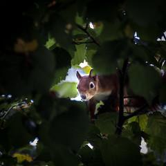 the curious squirrel (Benny aka WortLichtMaler) Tags: animal cute looking curious nice beautiful schön baum neugierig tree eichhörnchen squirrel