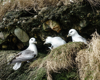 At Home with the Fulmars