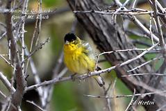 American Goldfrinch  ( Spinus Tristis ) (Edhorton) Tags: spring mt ranch las vegas nevada wildlife birding american goldfrinch spinus tristis