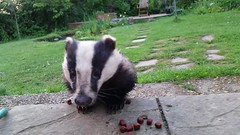 "Badger ""Old Girl"" having her tea (tobyhoulton) Tags: badger close closeup video toby houlton eat eating feed feeding garden"