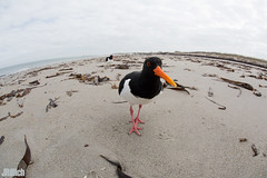Eurasian Oystercatcher, Austernfischer, Haematopus ostralegus @ Helgoland, Heligoland 2017 (Jan Rillich) Tags: helgoland heligoland northern sea northernsea nordsee insel düne sandstein jan rillich janrillich picture photo photography foto fotografie eos digital wildlife animal nature beautiful beauty sunny sun fauna flora free animalphotography image 2017 eastern winter küste nordseeküste sand dune april 5dmarkiii canon austernfischer haematopusostralegus eurasianoystercatcher commonpiedoystercatcher oystercatcher fisheye fischauge sigma 15mm