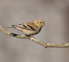 The Goldfinch Variations (Slow Turning) Tags: spinustristis americangoldfinch bird perched tree branch stick transitionalplumage moult molt bokeh spring southernontario