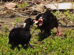 Surf Scoters either being friendly or fighting (Kat Avila - Southern California) Tags: bird duck seaduck scoter surfscoter