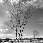 Heath-Tree