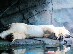 WAKE ME WHEN IT'S REALLY SPRING (Visual Images1) Tags: comozoo polarbear stpaul minnesota