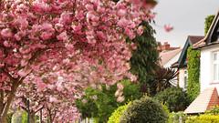 _C0A9410REWS Pink Swirls, © Jon Perry, 12-4-17 zaz (Jon Perry - Enlightenshade) Tags: jonperry enlightenshade arranginglightcom blossoms pinkblossoms pink petals windy breeze movement longexposure chiswick w4 staveleyroad street spring 12417 20170412