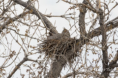 Female Great Horned Owl keeps watch on nearby Cooper's Hawk