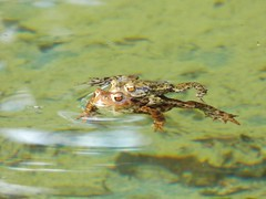 Mating Toads in the Bathing Pool, Hidcote Manor Garden, Gloucestershire, 3 April 2017 (AndrewDixon2812) Tags: hidcote manor garden nationaltrust cotswold cotswolds chipping campden gloucestershire bathing pool mating common toad bufobufo crapaud rupikonna erdkröte padda sapo amplexus