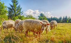 J'aime pas les photos ! (Boutillier Geoffrey) Tags: animal exterieur gx7 panasonic nature laine herbe loire france sheep campagne langue mouton