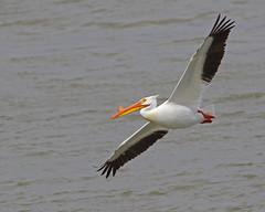 American White Pelican (Keith Carlson) Tags: americanwhitepelican pelecanuserythrorhynchos pelicans bif
